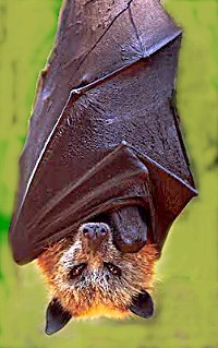 Golden_crowned_fruit_bat