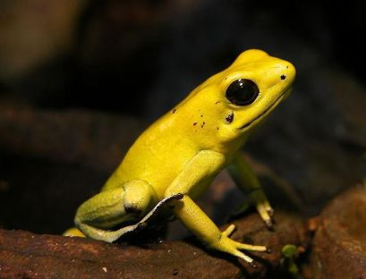 goldenpoisonfrog