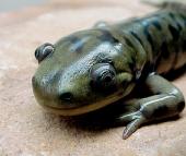 salamanderhead