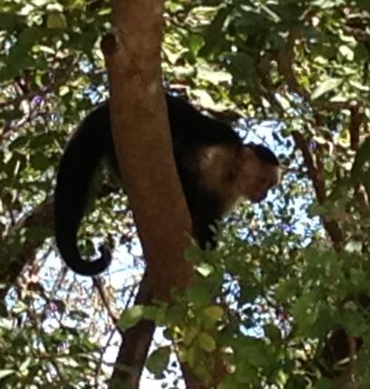 capuchinmonkeycr