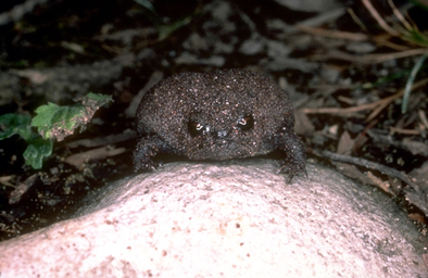 blackrainfrog