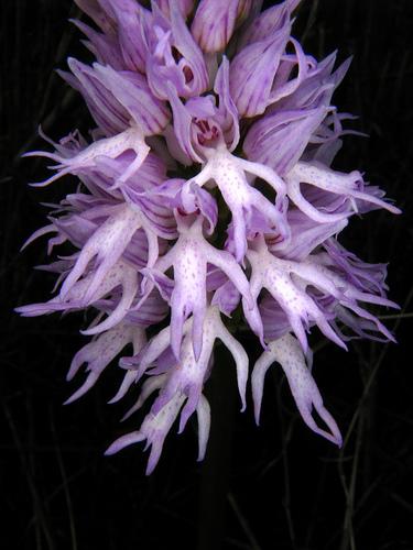 orchis-italica3